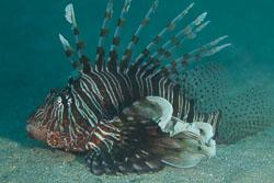 BD-150224-Ras-Mohammed-6708-Pterois-miles-(Bennett.-1828)-[Devil-firefish.-Drakfisk].jpg